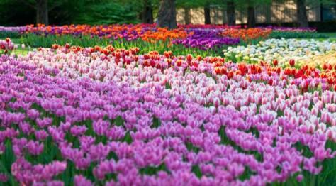 Tulips in Netherlands Keukenhof Gardens