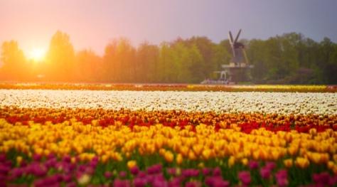 Tulips Fields in Holland
